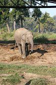 Bebê elefante - Nepal