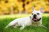 one french bulldog dog lying on green grass at autumn background