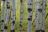 Árvores de álamo