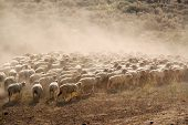 Flock Of Sheep Running In Dust, Nevada