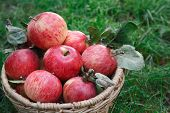 Wicker Basket Full Of Red And Yellow Ripe Autumn Apples On Green Grass Background. Seasonal Fruit Ga poster