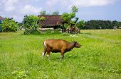 Cow In A Meadow On A Farm