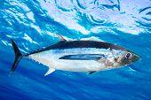 Albacore tuna fish Thunnus Alalunga underwater ocean [Photo Illustration]