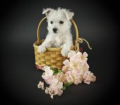 stock photo of westie  - Westie puppy sitting in a basket with pink flowers on a black background - JPG