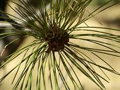 Beautiful texture of needles of a pine