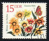 Gazania And Insect