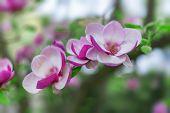 Magnolia Blooms. Magnolia Tree In Bloom Beautiful Purple Flowers In Spring. poster