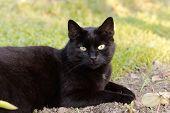 black cat on the meadow , close up - portrait