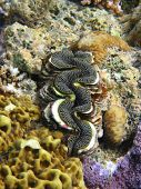Giant Clam in Coral