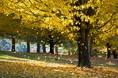 Fall Foliage Yellow Maple Leaves Falling From Tree In Autumn