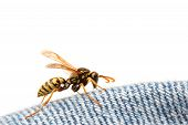 Wasp On Blue Jeans
