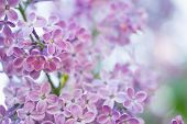Blooming Branch In Springtime. Closeup Macro Of Blooming Lilac Purple Flowers With Blurred Backgroun poster