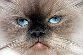 Cat Faced