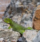Green Iguana Reptile Playing and Having Fun on Rock of St Thomas Beach