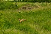 Red Fox (vulpes Vulpes) On Green Meadow. Fox In The Wild poster