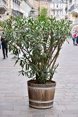 A Large Oleander Plant In A Large Wooden Pot On The Street Of The European City Of Baden Baden poster
