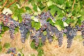 Umpqua Grapes
