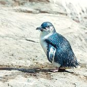 Little blue pinguin on the rock