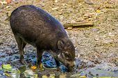 Visayan Warty Pig Grubbing In The Mud, Typical Wild Boar Behavior, Critically Endangered Animal Spec poster