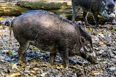 Visayan Warty Pig In Closeup, Wild Tropical Boar, Critically Endangered Animal Specie From The Phili poster