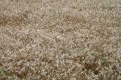 Plantation Of Wheat