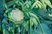 Cauli Flower, Brassica Oleracea, Being Cultivated In An Agriculture Field. Top View Of The Vegetable poster