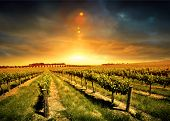 foto of shiraz  - Beautiful Sunset over a Barossa Vineyard - JPG