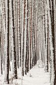 Trunks Of Trees Covered With Snow poster