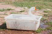pic of game-cock  - Goose in a tub - JPG