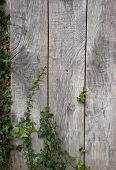 Close up shot on an old wooden wall with ivy