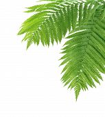 picture of fern  - Two fern leaves isolated on white background - JPG