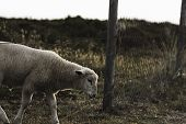 Baby Sheep Crossing Farm Boundaries. White Lamb And Farm Fence. Sheep Escape From German Ranch, On S poster
