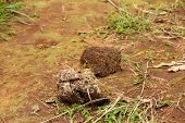 View Of Elephant Droppings During The Jungle Safari In Thekkady, Kerala, India. Dried Elephant Poop  poster