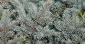 Blue Spruce Branch. Beautiful Branch Of Spruce With Needles. Christmas Tree In Nature. Green Spruce. poster