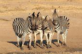Four Zebra Herd, Kruger Park Safari, South Africa poster