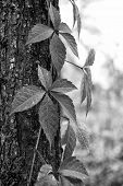 Autumn Coloration. Deciduous Climber In Fall. Virginia Creeper Plant On Tree Trunk Background. Ivy P poster