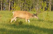 Mule deer (odocoilus hemionus) in Yellowstone