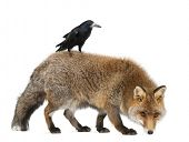 Old Red fox, Vulpes vulpes, 15 years old, and Rook, Corvus frugilegus, 3 years old, walking against