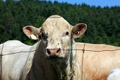 picture of charolais  - Massive charolais bull staring over a wire fence - JPG