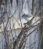 Titmouse on Branches