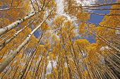 Autumn colored aspen trees, Rocky Mountains, Colorado, USA