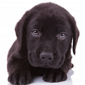 closeup picture of a black labrador retriever puppy dog looking into the camera