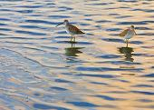 Two Willets