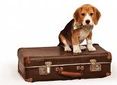 picture of puppy beagle  - Cute beagle puppy sitting on the old suitcase - JPG
