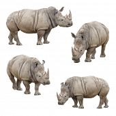 Set of Four Rhinoceros Isolated on a White Background.