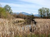 Montana Cattails And Beartooth Mountain Range Landscape