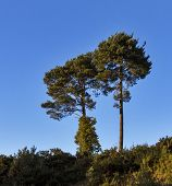 Scottish lonesome pines