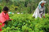 Women Tea Pickers