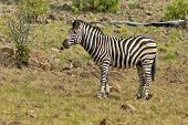 Burchell's zebra in Pilanesberg National Park