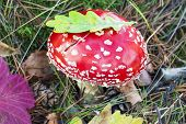 Fly agaric at forest